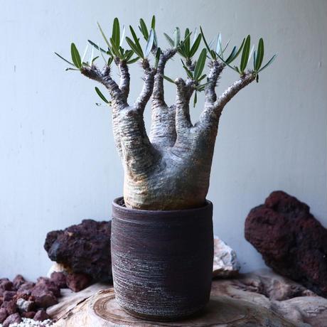 パキポディウム グラキリス Pachypodium gracilius no.024