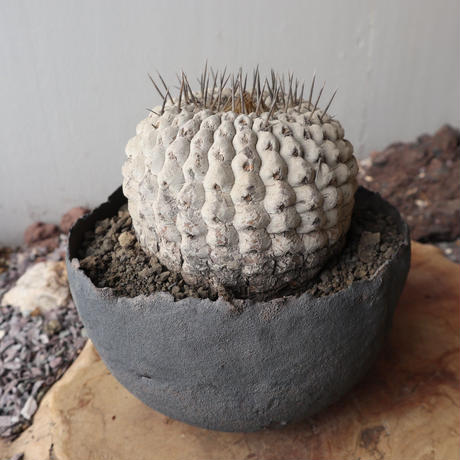 コピアポア 孤竜丸   no.005  Copiapoa cinerea var. columna-alba