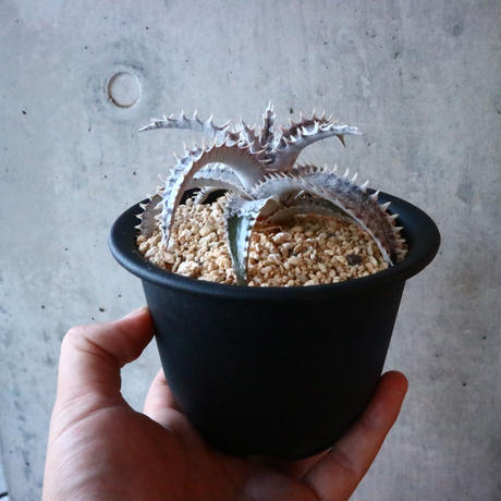 Dyckia 'Black Ice'.    001