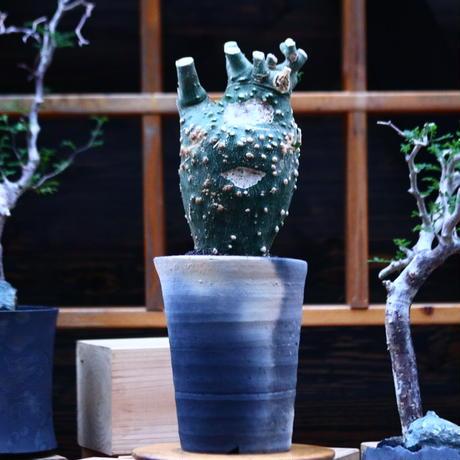 アデニア グロボーサ /Adenia globosa   no.100345