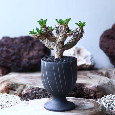 ユーフォルビア   ギラウミニアナ  Euphorbia guillauminiana  no.028