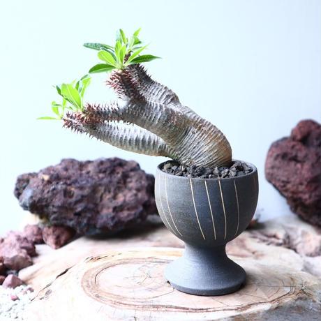 パキポディウム  マカイエンセ    Pachypodium Makayense  no.002