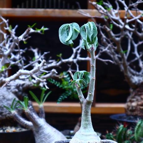 アデニア  グラウカ/Adenia glauca    no.51626