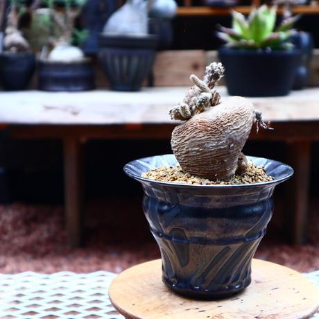 プテロカクタス ツベローサス   黒竜/Pterocactus tuberosus   no.50221