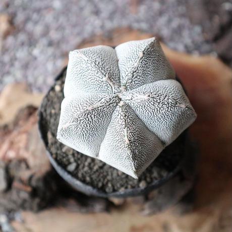 アストロフィツム  白ランポー玉   no.002    Astrophytum coahuilens