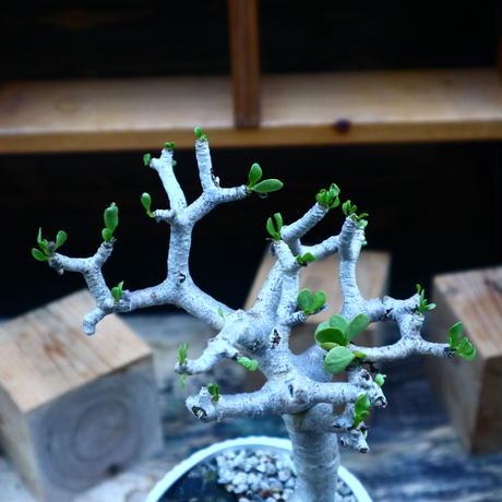 オトンナ   フルカタ/Othonna furcata    no.90524