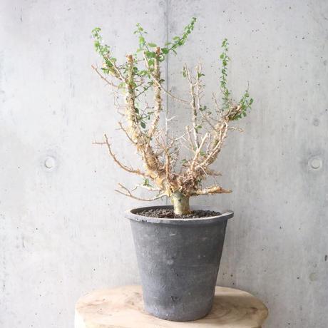 コミフォラ   シンプリキフォリア    no.003   Commiphora simplicifolia