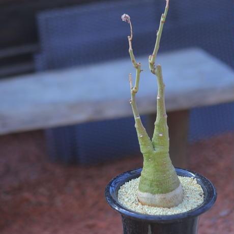 アデニア  グラウカ   Adenia glauca    no.20705-3