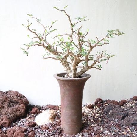 センナ   メリディオナリス   no.016  Senna meridionalis