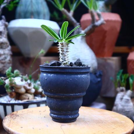 パキポディウム デンシフローラム  タッキー 実生/ Pachypodium densiflorum 'Tucky'   no.71833
