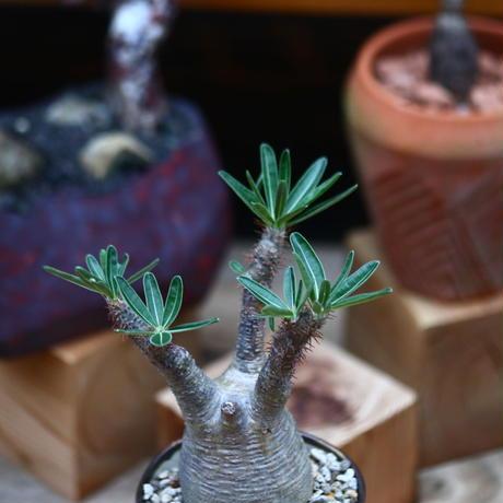 パキポディウム  グラキリス /Pachypodium  gracilius     no.101030