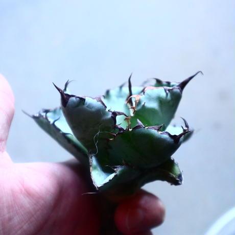 アガベ チタノタ ブラック&ブルー Agave titanota black&bule   no.20906