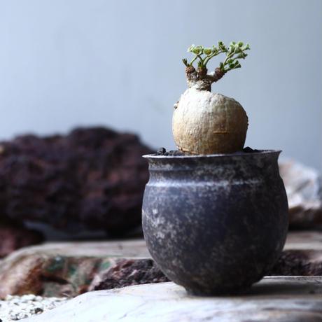 ユーフォルビア  スバポダ  Euphorbia subapoda    no.022