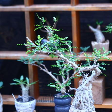 オペルクリカリア  パキプス/Operculicarya  pachypus     no.82905