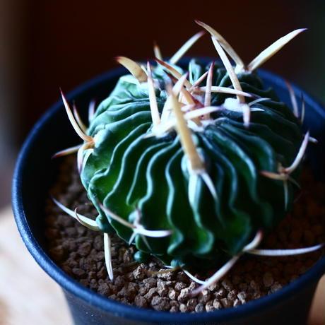 エキノフォスロカクタス 鶴鳳竜   Echinofossulocactus tricuspidatus   no.111572