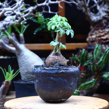 アデニア  グラウカ/Adenia glauca    no.51627