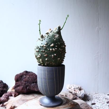 アデニア  グロボーサ      Adenia globosa       no.72124