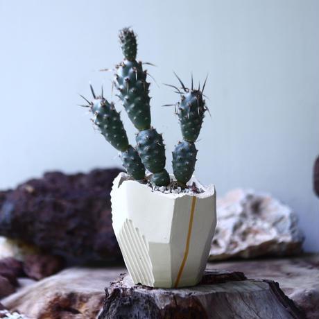 武蔵野 Tephrocactus articulatusno.015