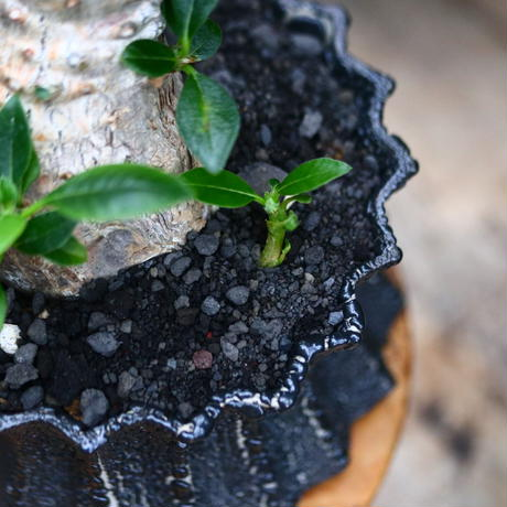パキポディウム ウィンゾリー/Pachypodium baronii var. windsorii       no.91905