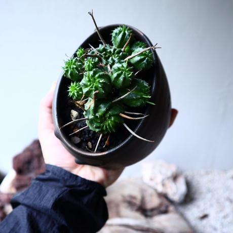 ユーフォルビア  仔吹きバリダ    Euphorbia valida   no.71423