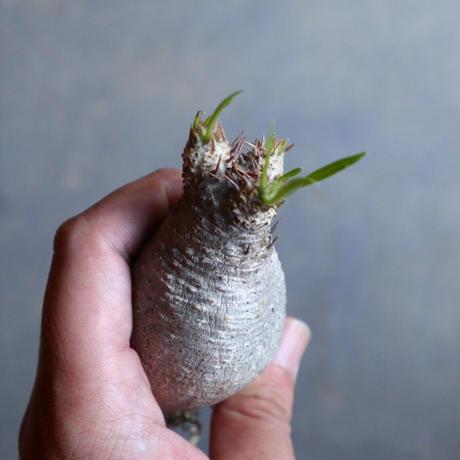 パキポディウム グラキリス   Pachypodium rosulatum var. gracilius no.110319