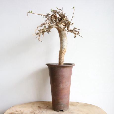 ボスウェリア  ネグレクタ    no.007   Boswellia neglecta
