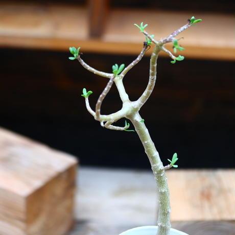 オトンナ  アルブスクラ/Othonna arbuscula    no.91252
