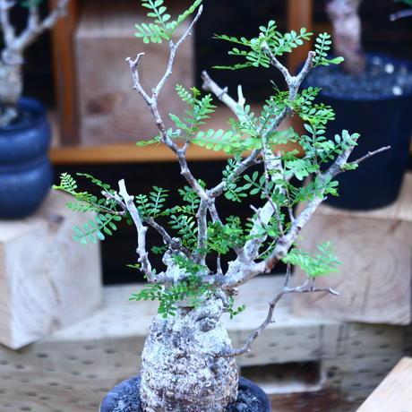 オペルクリカリア  パキプス/Operculicarya  pachypus     no.82907