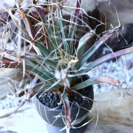 レウクテンベルギア  晃山    Leuchtenbergia principis  no.51921