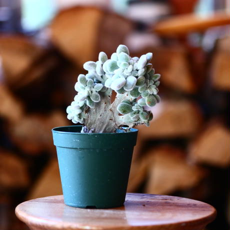 エケベリア  フロスティ 綴化 / Echeveria pulvinata cv. Frosty f.cristata     no.111538