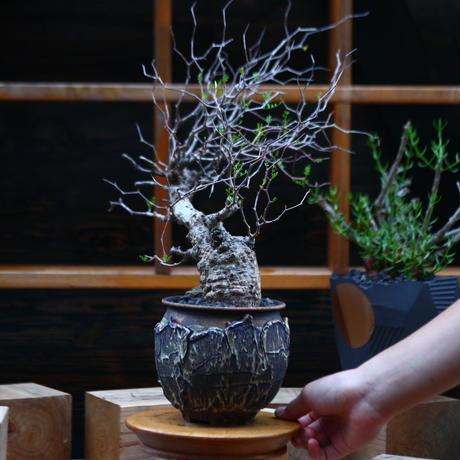 オペルクリカリア  パキプス/Operculicarya  pachypus     no.92603