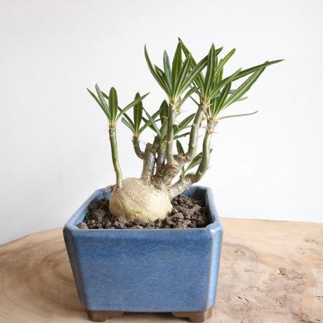 パキポディウム  サキュレンタム    no.002    Pachypodium succulentum