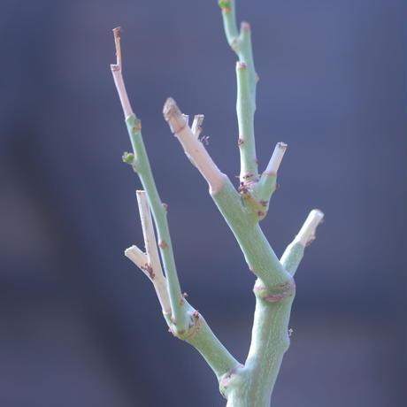 アデニア  グラウカ   Adenia glauca    no.20704-2