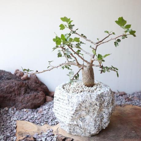 ブルセラ   ファガロイデス  no.009     Bursera fagaroides