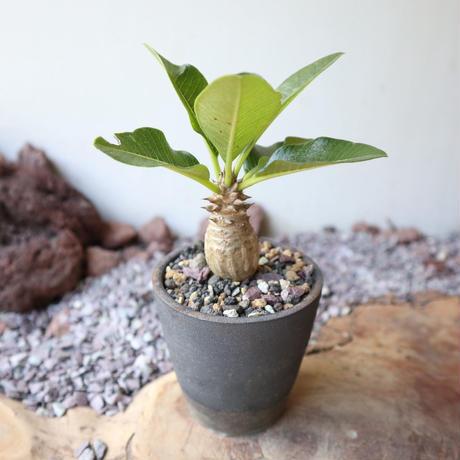 パキポディウム  ウィンゾリー   no.016   Pachypodium baronii var. windsorii