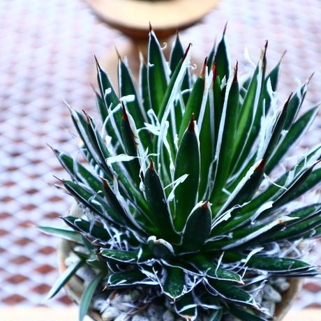 アガベ フィリフィラ  滝の白糸/Agave filifera  no.50233