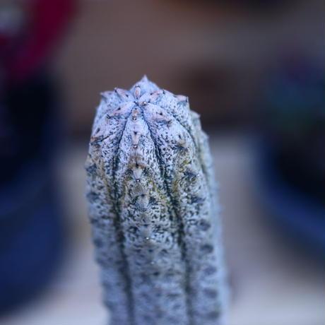 ユーフォルビア アブデルクリ 接おろし 自根   Euphorbia abdelkuri   no.32108