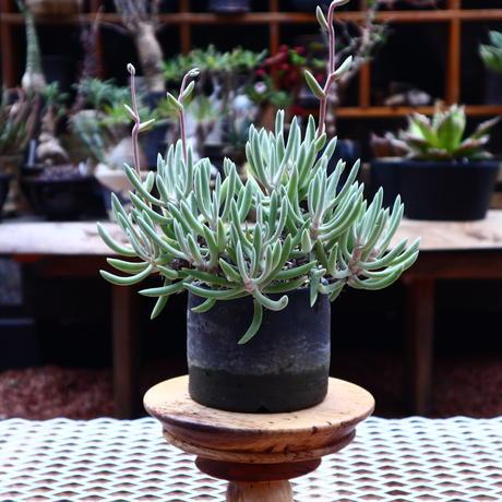 ダドレア オルクッティ/Dudleya attenuata ssp. orcutii  no.50231