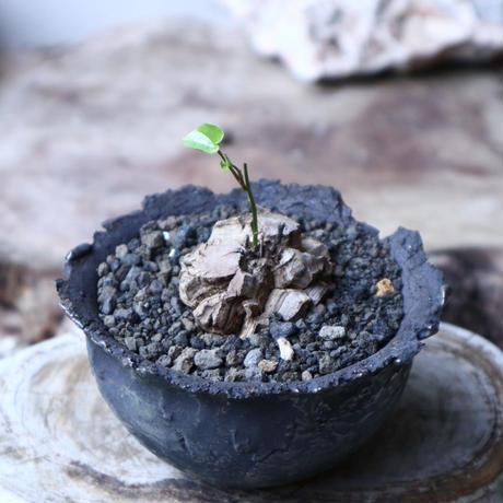 ディオスコレア   亀甲竜    Dioscorea elephantipe     no.91517