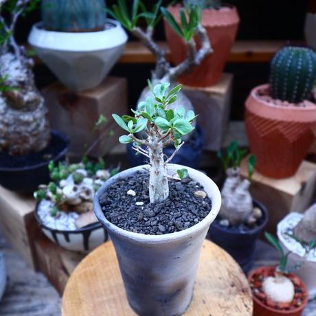 フォークイエリア  コルムナリス  (観峰玉)/Fouquieria columnari   no.71831