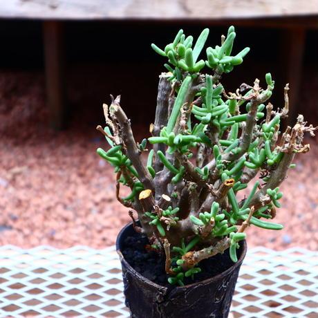 クラッスラ サルコカウリス /Crassula  sarcocaulis    no.50205