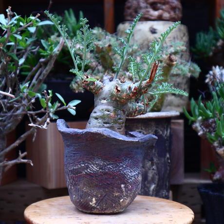 ペラルゴニウム カルノーサム/Pelargonium carnosum  no.60625