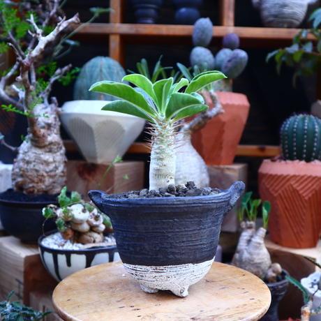 パキポディウム  サウンデルシー (白馬城)  実生/Pachypodium saundersii  no.71842
