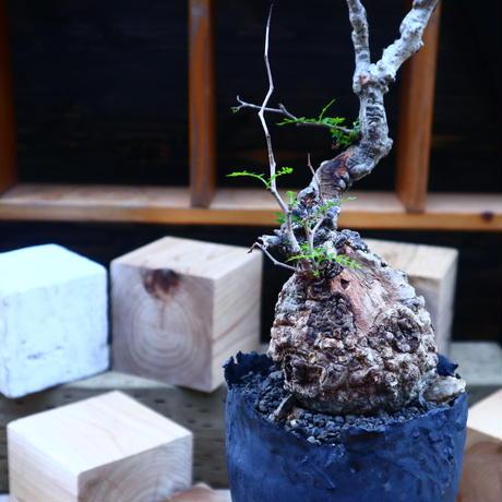 オペルクリカリア  パキプス/Operculicarya  pachypus     no.71803