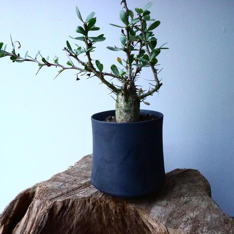 フォークイエリア  コルムナリス  観峰玉 Fouquieria columnari   No.017