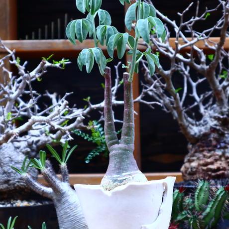 アデニア  グラウカ/Adenia glauca    no.51625