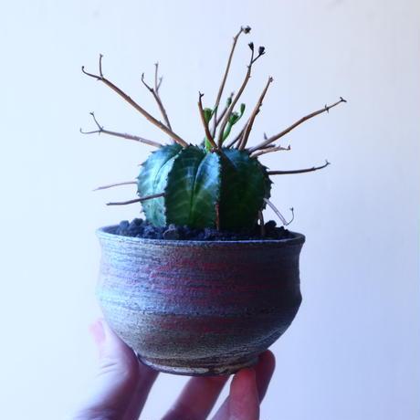 ユーフォルビア  バリダ    Euphorbia valida     no.20219