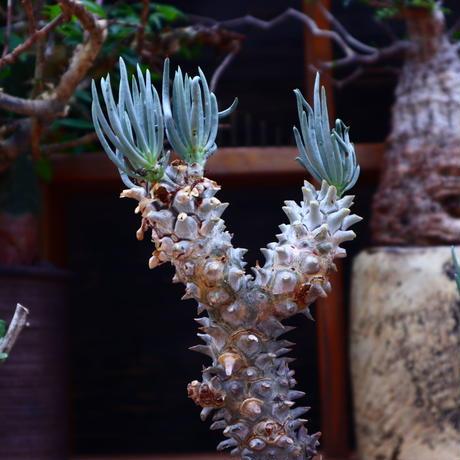 チレコドン  ワリチー/Tylecodon wallichii   no.60640