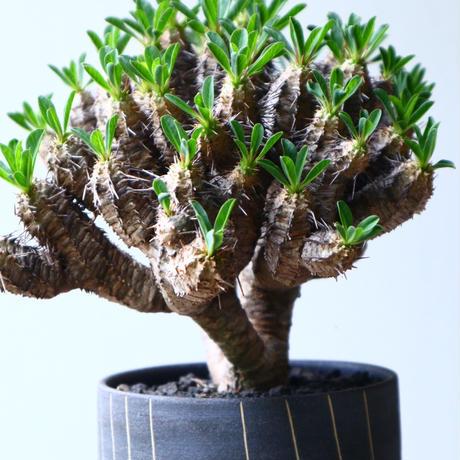ユーフォルビア   ギラウミニアナ  Euphorbia guillauminiana  no.71437