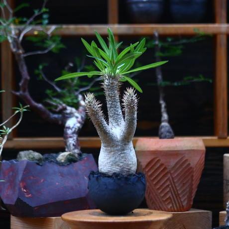 パキポディウム  イノピナツム/Pachypodium Inopinatum   no.101045